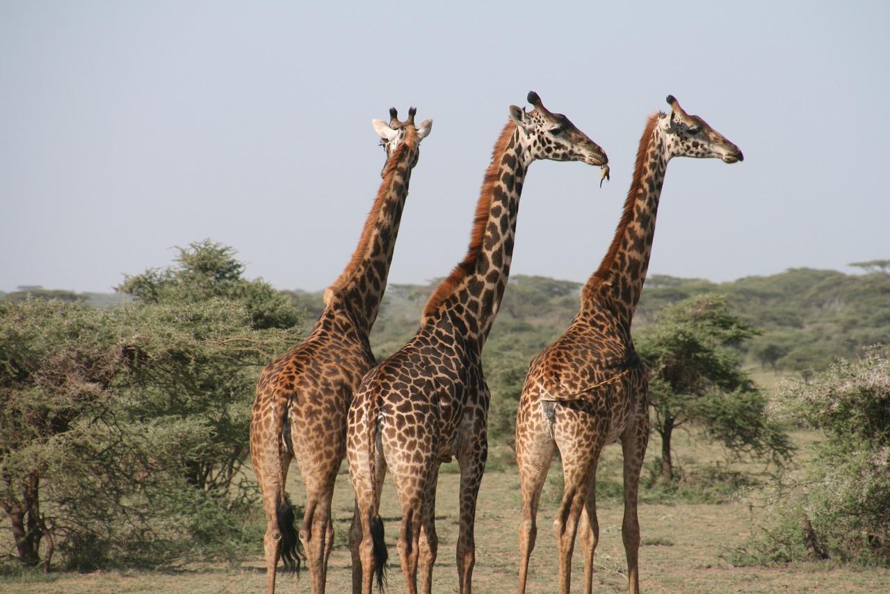 Girafe en Afrique